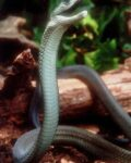 Smithsonian-Channel-Black-Mamba-Kiss-of-Death-2014